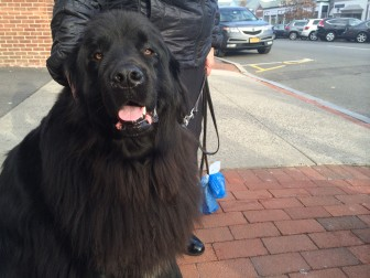 "This is Beaufort, a 3.5-year-old Newfoundland. ""I don't know what we'd do without him,"" owner Leslie Kammerer of New Canaan says. Credit: Michael Dinan"