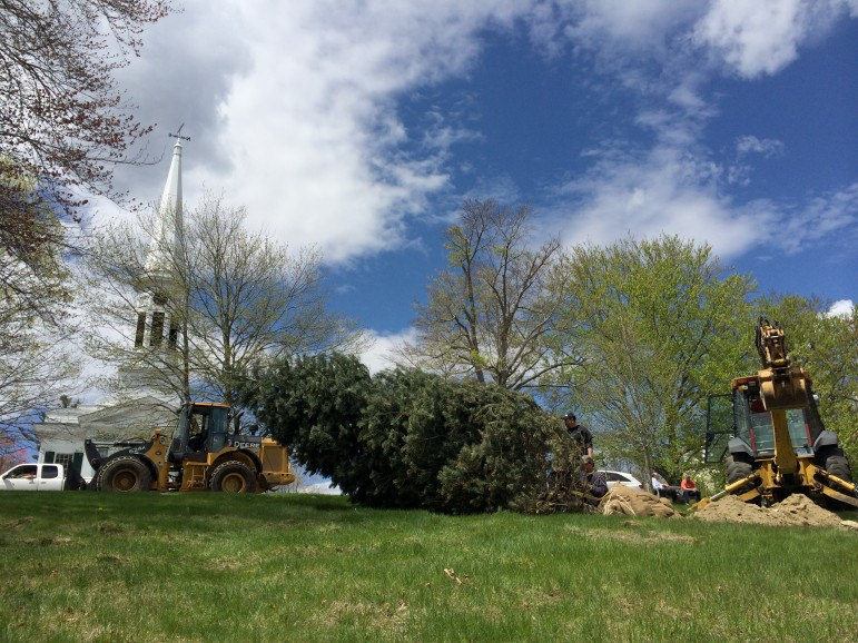This 20-year-old Con Color Fir tree is being planted May 6, 2014 at God's Acre. In about 10 years, the town's tree warden says, it will serve as the centerpiece for a cherished New Canaan holiday tradition: Christmas caroling at God's Acre.