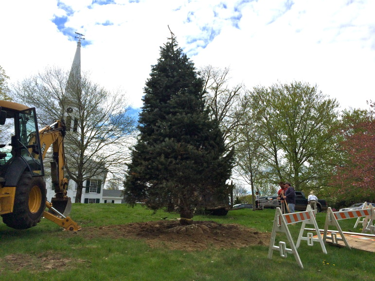 Here's the Color Con Fir tree, upright in God's Acre following its May 6, 2014 transplant from Shagbark Farms in Hillsdale, NY.