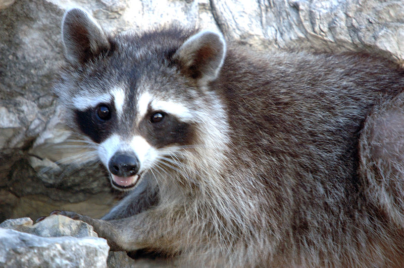 New Canaan Police Put Down Three Sick Raccoons Daytime Sightings Do Not Automatically Mean