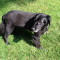Christian is an older, flat-coated retriever. He went missing on the night of Monday, Sept. 1 from the area of 36 Carriage Lane. Contributed photo