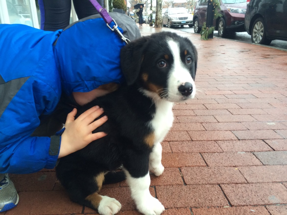 Molly The Bernese Shepherd Mix Sometimes She Likes To
