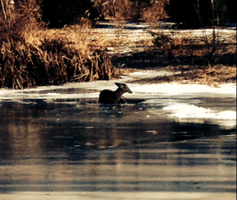 Here's the deer after falling through the ice and into the freezing cold pond at the end of Salem Road in New Canaan on Jan. 17, 2015.