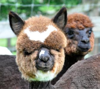 One of the McQuilkins' alpacas. Debbie McQuilkin photo