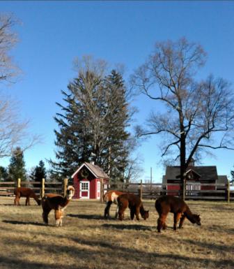 The McQuilkin alpacas, at home on Oenoke Ridge Road. Debbie McQuilkin photo