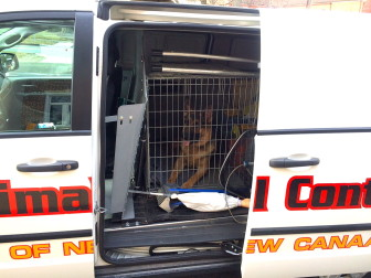 Ringo, a 1-year-old German shepherd dog, breached his electric fence on Ferris Hill Road on Wednesday, and Animal Control ended up scooping him up before he was hurt roaming around. Credit: Michael Dinan