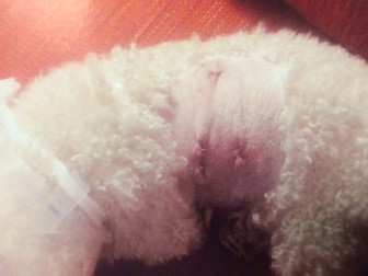 The Avalon Drive West poodle mix suffered severe cuts after a neighbor, a Rottweiler mix, attacked the animal just after midday on April 26, 2015. Photo courtesy of the New Canaan Police Department Animal Control Unit