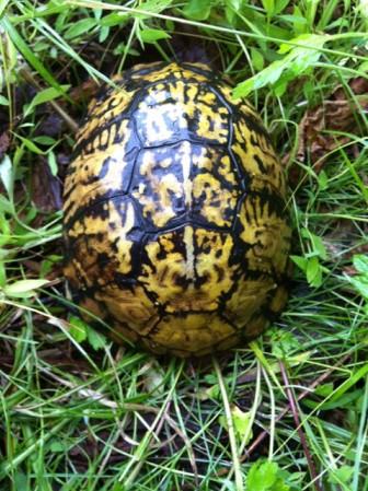 Eastern Box Turtle. Barbara Wills photo