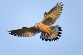 A kestrel as it hovers. Flickr/Creative Commons license