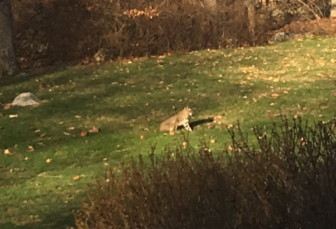 This bobcat was spotted and photographed around 10 a.m. on Sunday, Dec. 20, 2015. Photo published with permission from its owner
