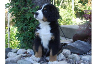 A Bernese mountain dog puppy. By MarcellDuchardt - Own work (Original text: Eigene Fotografie), Public Domain, https://commons.wikimedia.org/w/index.php?curid=11910502