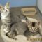 These kittens—female silver tabby at left, brown male at right—are available for adoption out of New Canaan Animal Control. They don't have to be adopted together. Photo courtesy of NCPD Animal Control section