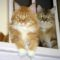 Red (with white) male Maine Coon cat with shaded golden (with white) male Maine Coon cat By Krh315 - Own work, Public Domain, https://commons.wikimedia.org/w/index.php?curid=6925482