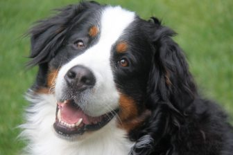 Louie The Bernese Mountain Dog A Puppy At Heart