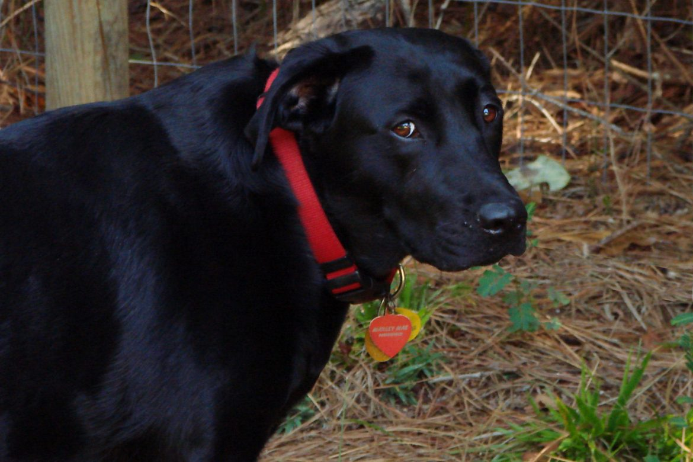 Mystery Woman S Labrador Retriever Bites Dog On Land Trust